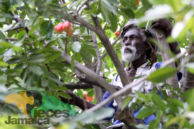 Inna De Ackee Tree Photo by David Muir from Pieces of Jamaica: The Real Rock Edition